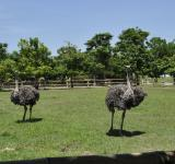 Free Photo - Ostrich on the Farm