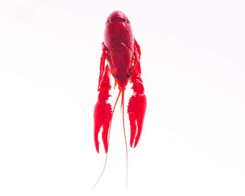 Free Stock Photo of Crayfish Created by Geoffrey Whiteway