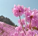 Free Photo - Azalea Flower