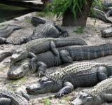 Free Photo - Smiling Alligators
