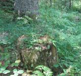Free Photo - Old stump in the forest