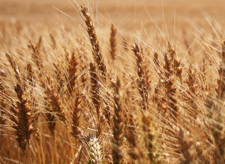 Free Stock Photo of Wheat Created by Free Texture Friday
