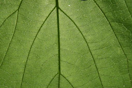 Leaf Texture - Free Stock Photo