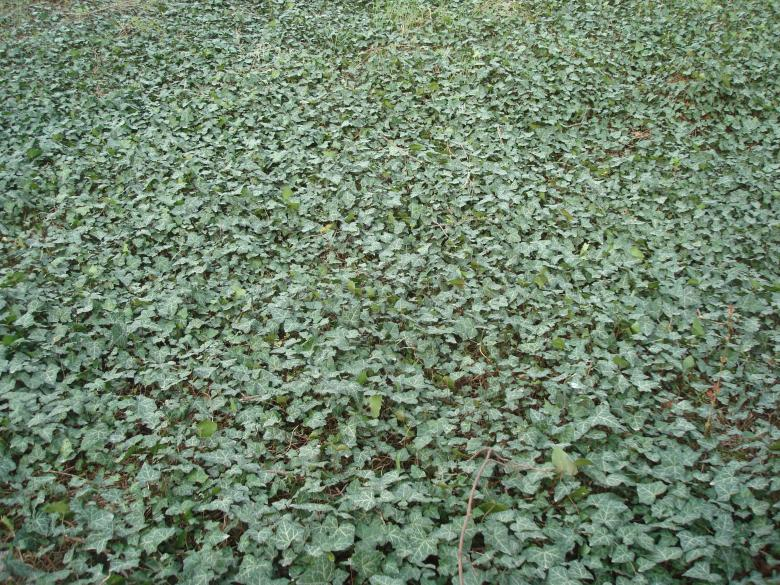 Free Stock Photo of Ivy covered ground Created by Boris Kyurkchiev
