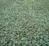 Free Photo - Ivy covered ground