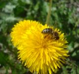 Free Photo - A bee on a yellow dandelion flower