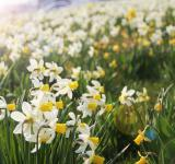 Free Photo - daffodils