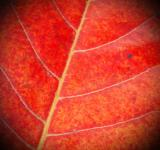 Free Photo - Red Leaf Close-up