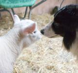 Free Photo - Sheep and dog