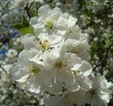 Free Photo - White blossoms