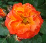 Free Photo - Orange rose