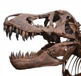 Free Photo - Tyrannosaurus on white background