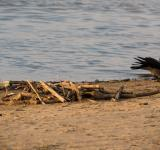 Free Photo - Crow on the beach