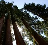 Free Photo - Sequoia Row