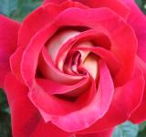 Free Photo - Red rose close-up