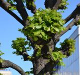 Free Photo - Shaped linden tree closeup