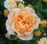 Free Photo - Orange rose close-up
