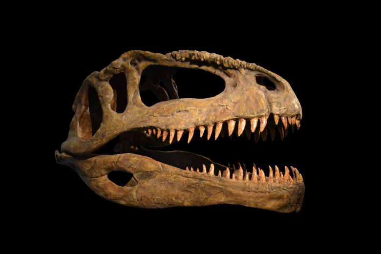 Free Stock Photo of Skull of dinosaur on black background Created by Tomas Adomaitis
