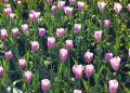 Free Photo - Purple Tulips