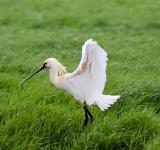 Free Photo - Eurasian Spoonbill