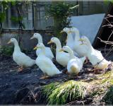 Free Photo - Geese