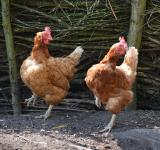 Free Photo - Chicken dance