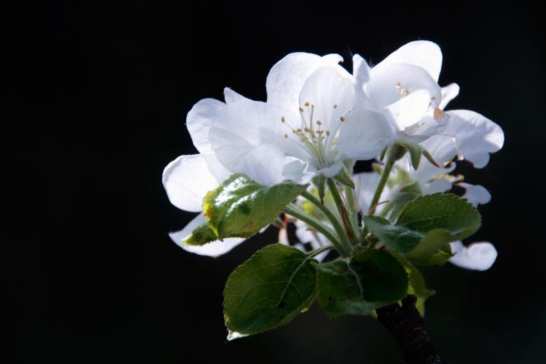 Free Stock Photo of apple flowers Created by 2happy