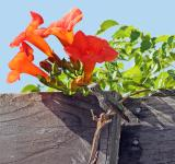 Free Photo - Hummingbird & Trumpet Flowers