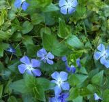 Free Photo - Periwinkle