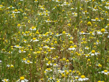Camomile field - Free Stock Photo