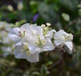 Free Photo - Clumps of White Flowers