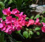 Free Photo - Clumps of Pink flowers