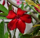 Free Photo - Bloody Red Flower