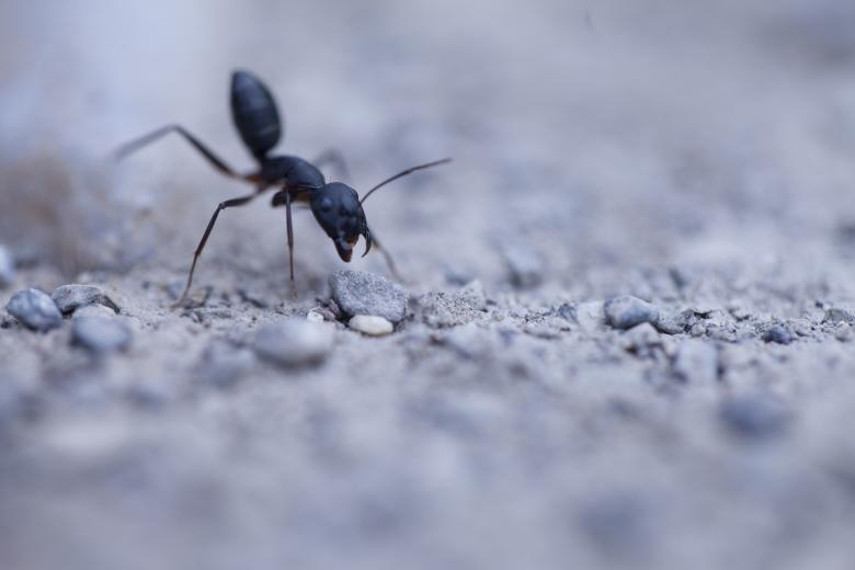 Free Stock Photo of Agressive ant Created by nasir rauf