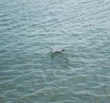 Free Photo - A seagull in the sea