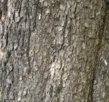 Free Photo - Bark of field maple