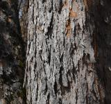 Free Photo - Bark of sycamore maple