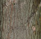 Free Photo - Bark of red maple