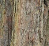 Free Photo - Bark of horse-chestnut