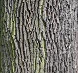 Free Photo - Bark of european ash