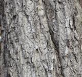 Free Photo - Bark of white walnut