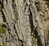 Free Photo - Bark of english walnut