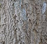 Free Photo - Bark of amur cork tree