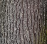 Free Photo - Bark of eastern white pine