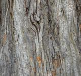 Free Photo - Bark of black cottonwood
