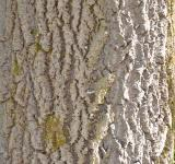 Free Photo - Bark of grey poplar