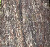 Free Photo - Bark of wild service tree
