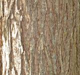 Free Photo - Bark of american elm