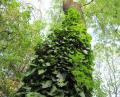 Free Photo - Ivy on a tree