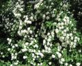 Free Photo - White spring flowers